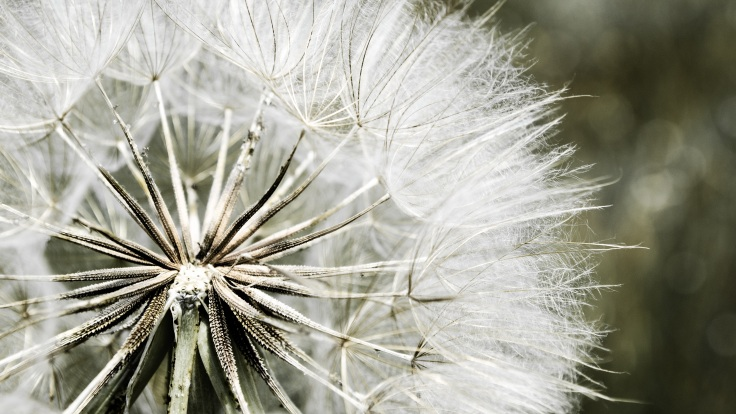 dandelion-nature-flora-white-51426